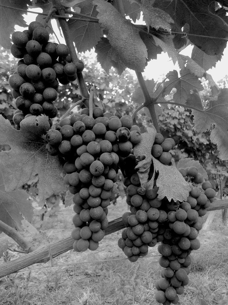 vigneto con grappli di uva matura